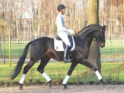 Photo Etalon Leonardo da Vinci descendant de Lauries Crusador xx x Davignon 1
