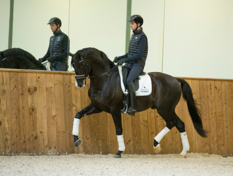 Foto hengst Everdale nakomeling Lord x Lord Loxly x Lord Sinclair I