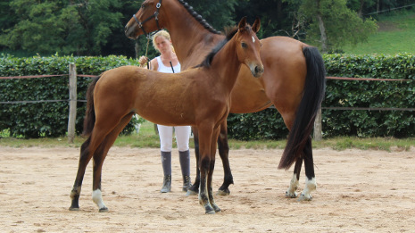 Photo Bugatti Mansolein Z Jument Brunetti Z x Big Star Junior x Athlet Z x Lepanto