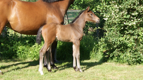 Chanel Mansolein Z descendant Cantona TN x Big Star Junior x Athlet Z x Lepanto x Farnese