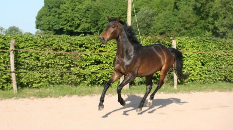 Kalypso Mansolein nakomeling van Everdale x Leonardo da Vinci x Ti King xx x Dom Racing xx