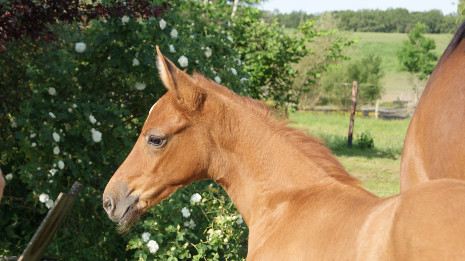 Prada Mansolein Z descendent de Poker de Mariposa x Big Star Junior x Athlet Z x Lepanto