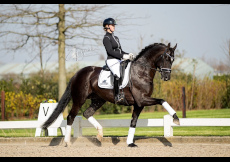 Photo etalon Dante US descendent de Dante Weltino Old x Sir Donnerhall I x Blue Hors Don Schufro