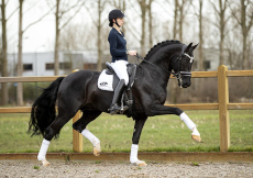 Foto dekhengst For Ferrero nakomeling van For Romance I x Don Crusador x Wolkenstein II